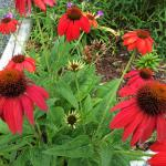 Beautiful red cone flowers