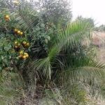 Híbrido de palmera y naranjo