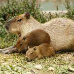 Chigüiro o capibara con crías