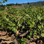 60 year old zin vines