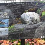 Share the shore with Harbor Seals, Ballard Locks, Nov. 3, 2015
