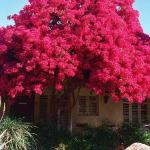Biggest Best Bougainvillea Ever