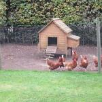 Resident Chickens