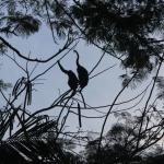 Howler monkeys in the morning hours