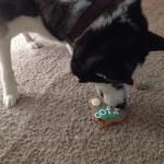 Shadow enjoying her birthday treat from Paddy, just part of the excellent service received durin