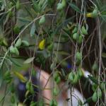 Découvrez notre oliveraie