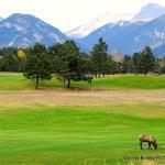 Elk at the nearby Estes Park Golf Course