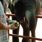 Feeding sugar cane to an elephant