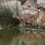 Ibex drinking