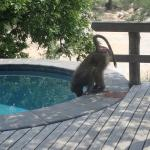 baboon drinking from personal pool
