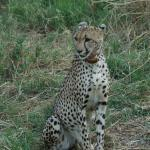 Cheetah, first day