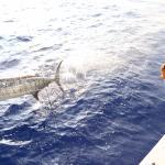 Frisky Marlin