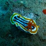 Nudibranches in Massen