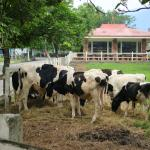 They have 500 dairy cows on this farm!