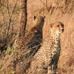 Cheetah on the other side of the watering hole