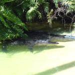 Alligators at Flamingo Gardens RickyHanson