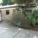 Peacock at Flamingo Gardens photo by RickyHanson