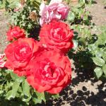 Just one example from the rose garden at Mildura Station Homestead