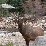 An elk behind Riverside Cabin