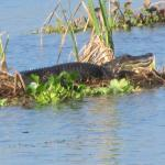 One of many gators we saw on our tour.