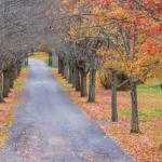 Tree lined Drive in Autumn