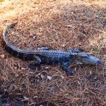 Alligator next to the HHI Bike Trail