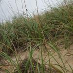 Sea grass on the dunes