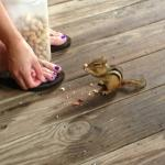 Feeding chipmunks on the front porch