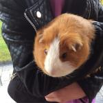 This is me with hobnob the guinea pig