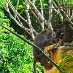 Monkey stealing offerings