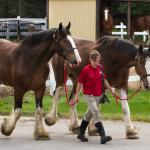 Clydesdales coming for a bath