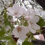 綺麗な桜を見ることができました