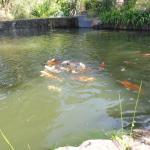 Koi Carp pool