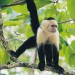 mono cara blanca en Puerto Jimenez