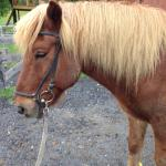 My horse at the Vermont Icelandic Horse Farm on our first day of riding.