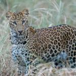 Leopard spotted at Pann National Park