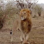 Der Koenig in der Masai Mara