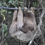 Mama sloth and baby outside of Saint Elena