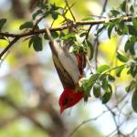 red headed weaver at Tshima