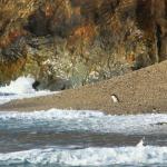 Fiordland crested penguin !!!!