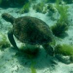 Lots of turtles at the Cays
