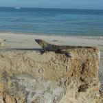 le iguanas della spiaggia