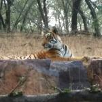 Young tigress grooming close by