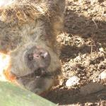 Pig at the Farm