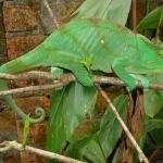 Chameleon - Exotic Animal Park