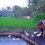 The duck pond in the middle of the rice field