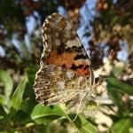 Mangrove Bay Schmetterling nach dem Regen