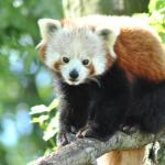 'Amba' our Red Panda enjoying the sunshine.