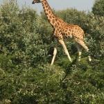 Daudi - Rothschild Giraffe