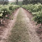 Gabriel's Paddocks Vineyard Foto
